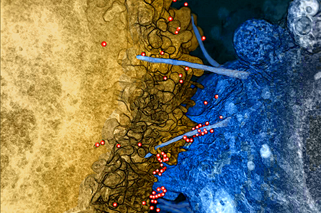 HIV interacting with cells