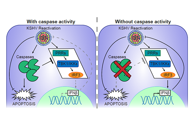 IFN signalling in KSHV infection